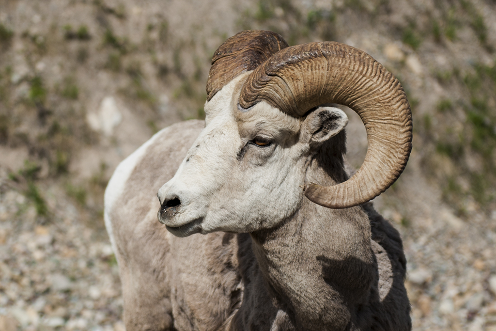 Bighorn sheep in Waterton Lakes National Park.
